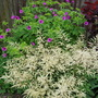 Geranium psilostemon and Aruncus misty lace