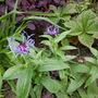 Centaura montana