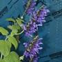 Salvia coerulea (autumn 2018) (Salvia coerulea)
