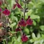 Salvia 'Nachtvlinder' (Salvia greggii x microphylla)