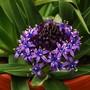Scilla peruviana (Scilla peruviana (Cuban Lily))