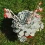 Echeveria lilacina (Echeveria lilacina)