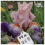 19H36B (pic for Dawn) (Iris)