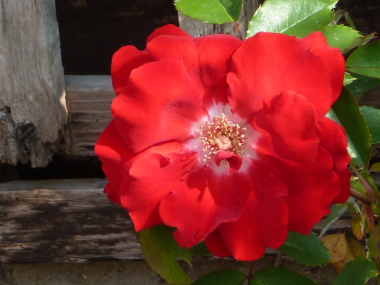 Rose  Tempress Korromalu
