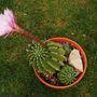 Echinopsis oxygona (Echinopsis oxygona (Sea Urchin Cactus))