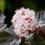 Physocarpus_lady_in_red_june_19