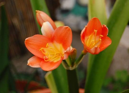 Clivia miniata (Clivia miniata (Clivia))