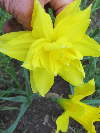 bought a mixed bag of daffs...