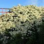My Living Fence (Pyracantha)