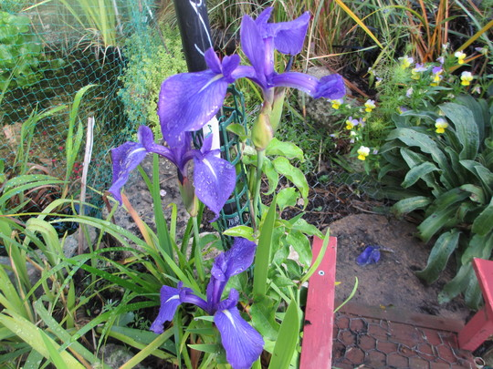 Iris laevigata (Iris laevigata (Rabbit ear Iris))