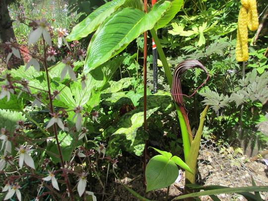 Arisaema costatum (2nd year update) (Arisaema costatum)