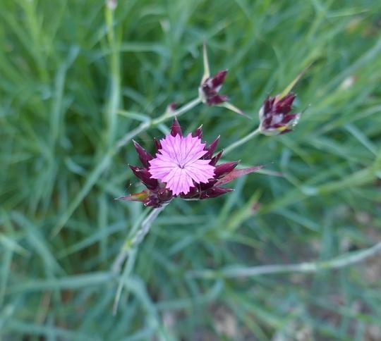 Dianthus carthusianorum - 2019 (Dianthus carthusianorum)