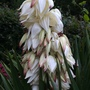 This yucca shouldn't be in flower until August