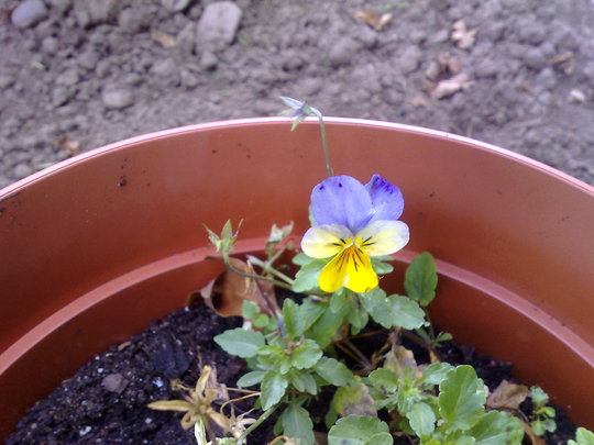 viola winter pansy
