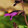Salvia 'Amistad' (or is it?) (Salvia)