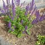 Salvia sylvestris Mainacht