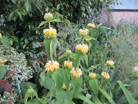 Phlomis (For my File) (Phlomis russeliana (Phlomis))
