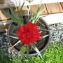 Ruby Red Carnation