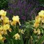 Iris Mustard, Siris 2nd Generations Cross