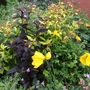 Lysimachia Firecracker, Welsh poppy and Spirea