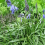 English Bluebells ... still here!