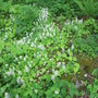 Tiarella cordifolia lining the woodland path