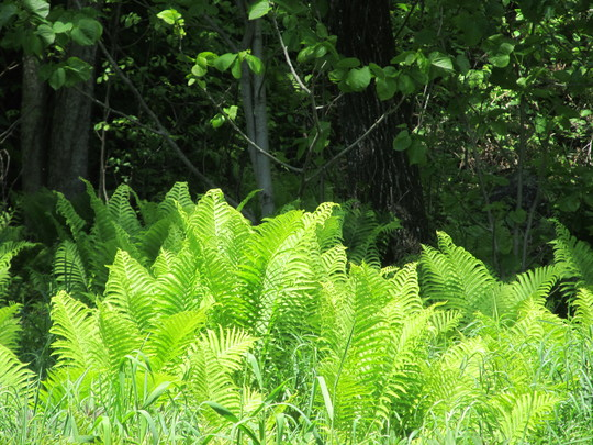 Fresh spring ferns