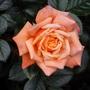 Rose Nice Day