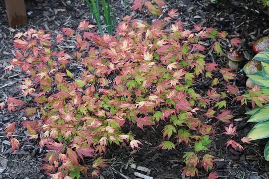 Acer 'Tsuma Gaki' has now coloured up for summer