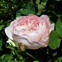 Old English Rose 'Gentle Hermione'