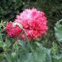 Papaver somniferum or opium poppy.