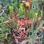 Sarracenia varieties (Sarracenia)
