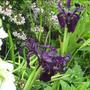 Black Iris (Iris)