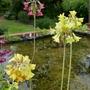 Primula florindae - 2019 (Primula florindae)