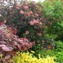 Cotinus and Sambucus