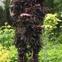 Sambucus Black Tower