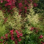 Weigela Bristol Ruby and Aruncus