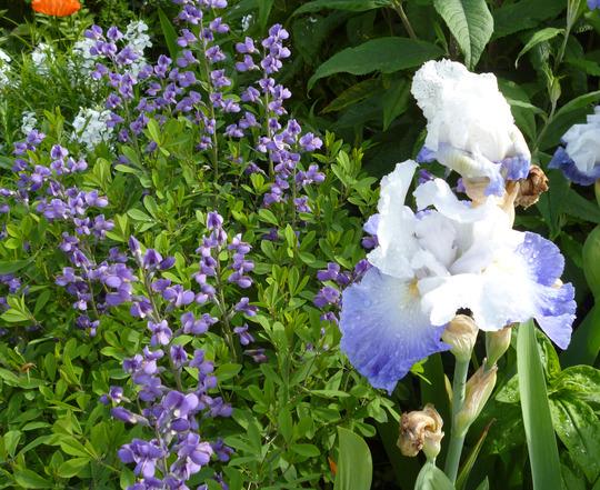 Baptista australis Purple smoke (Baptisia australis (purple smoke])