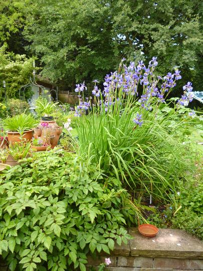 Iris siberica 'Tropic Night' (Iris)