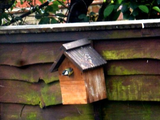 Blue Tit in nesting box