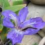 Iris tectorum (Iris tectorum (Chinese Roof Iris))
