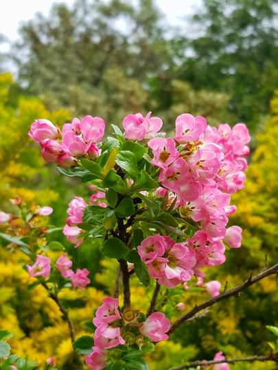 """Escallonia  (Escallonia """"apple blossom"""")"""