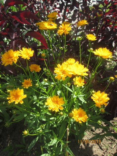 Coreopsis: Early Sunrise