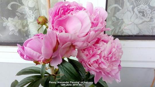 Peony 'Alexander Fleming' on balcony 12th June 2019 002 (Paeonia lactiflora (Peony))