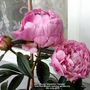 Peony_alexander_fleming_with_first_flowers_opening_on_balcony_8th_june_2019_