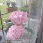 Peony_alexander_fleming_on_balcony_seen_from_inside_of_flat_10th_june_2019