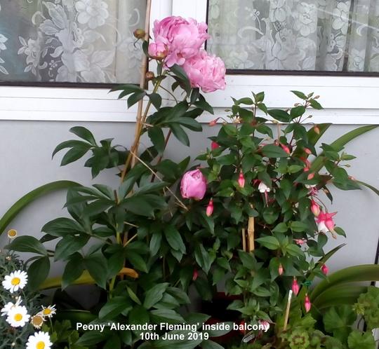 Peony 'Alexander Fleming' inside balcony 10th June 2019 (Paeonia lactiflora (Peony))
