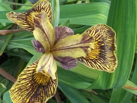 Iris 'Holden Clough'