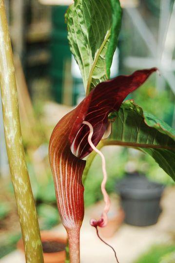 Arisaema speciosum (arisaema speciosum)