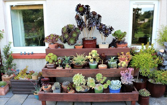 Succulents on Staging